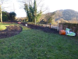 Yew Trees planted