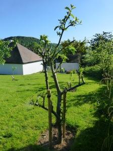 Apple Tree in leaf in June 2015