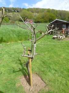 Apple Tree one month later in April 2015