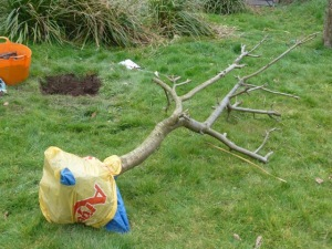 Apple Tree arriving in Wales