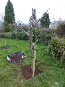 Apple Tree in new position