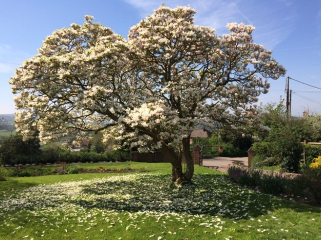 Magnolia Tree in full bloom pic 3