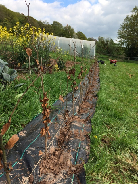 Slit planting the bare root young beech trees