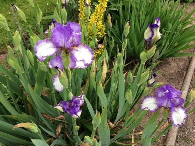 Iris in front garden
